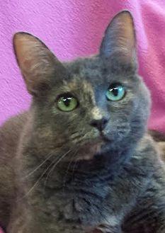 Domestic Shorthair Cat for adoption in Colfax, Iowa - Mia