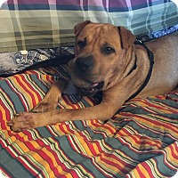 Shar Pei/Labrador Retriever Mix Dog for adoption in La Verne, California - Scooby