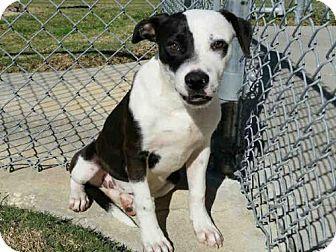 Labrador Retriever Dog for adoption in Texas City, Texas - RITA