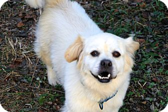 Tibetan Spaniel Mix Dog for adoption in Norwalk, Connecticut - Buckwheat