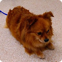Pomeranian Mix Dog for adoption in Carson City, Nevada - Charlie