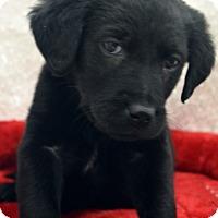 Adopt A Pet :: Daytona - Bridgeton, MO