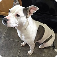 Pit Bull Terrier Mix Dog for adoption in Camas, Washington - Layla