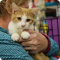 Adopt A Pet :: Cream Puff - Rochester, MN