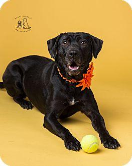 Labrador Retriever Mix Dog for adoption in Coppell, Texas - Molly