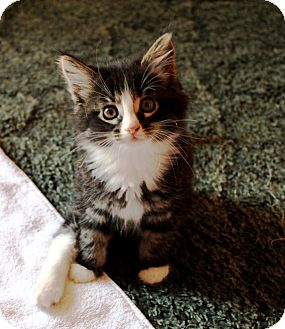 Domestic Mediumhair Kitten for adoption in Nolensville, Tennessee - Sasha