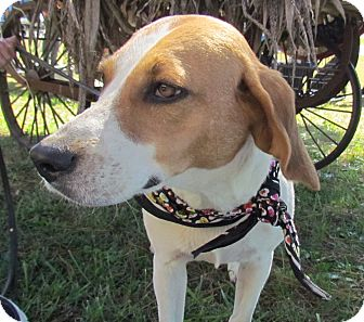 Hound (Unknown Type) Dog for adoption in West Bridgewater, Massachusetts - Allie