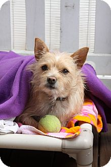 Cairn Terrier/Terrier (Unknown Type, Small) Mix Dog for adoption in san diego, California - Wally