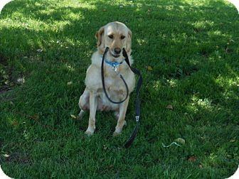 Labrador Retriever Mix Dog for adoption in Morgantown, West Virginia - Maggie