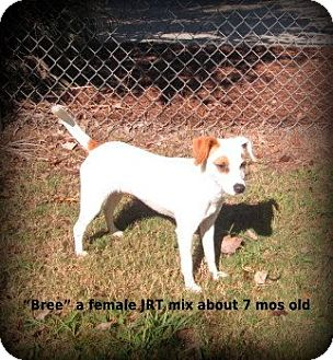 Jack Russell Terrier Dog for adoption in Gadsden, Alabama - Bree