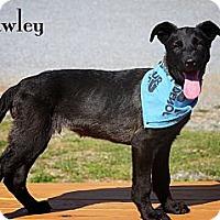 Adopt A Pet :: Pawley - Albany, NY