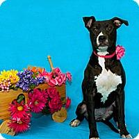 Adopt A Pet :: Diva - Lima, OH