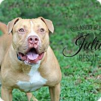 Adopt A Pet :: Julius - Orlando, FL