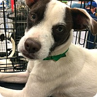 Adopt A Pet :: Brownie in CT - Manchester, CT