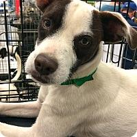 Adopt A Pet :: Brownie in CT - East Hartford, CT