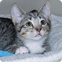 Adopt A Pet :: Alvin - Elmwood Park, NJ