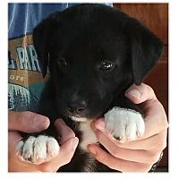 Adopt A Pet :: Clover - Little Rock, AR