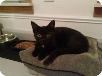 Domestic Shorthair Kitten for adoption in Warren, Michigan - Tiny