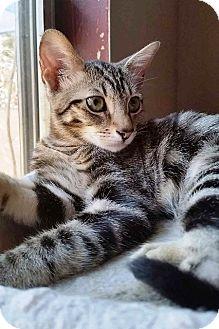 Domestic Shorthair Kitten for adoption in Orange, California - Mouse