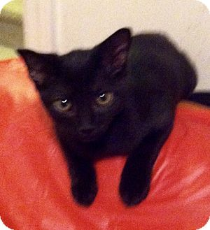 Domestic Shorthair Kitten for adoption in Philadelphia, Pennsylvania - Monkey