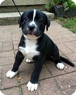Pit Bull Terrier/American Pit Bull Terrier Mix Puppy for adoption in Dayton, Ohio - Lightning