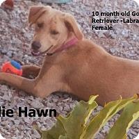 Adopt A Pet :: Goldie Hawn - El Cajon, CA