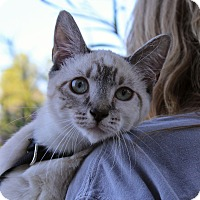 Siamese Kitten for adoption in Ocean Springs, Mississippi - Snow