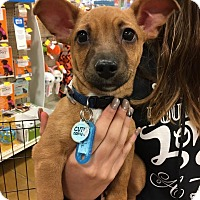 Dachshund/Chihuahua Mix Puppy for adoption in Sugar Grove, Illinois - Radley