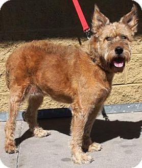 Airedale Terrier Dog for adoption in Gilbert, Arizona - Chloe