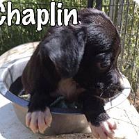 Adopt A Pet :: Chaplin - Smithtown, NY