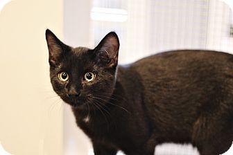 Domestic Shorthair Kitten for adoption in Lincoln, Nebraska - Russell