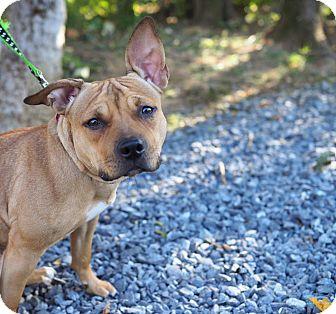 Shepherd (Unknown Type) Mix Puppy for adoption in Whitehall, Pennsylvania - Harley Quinn