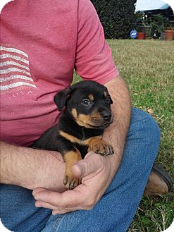 Rottweiler/Pit Bull Terrier Mix Puppy for adoption in Springtown, Texas - Axel