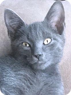 Domestic Shorthair Kitten for adoption in Prospect, Connecticut - ADOPTION PENDING! Tom