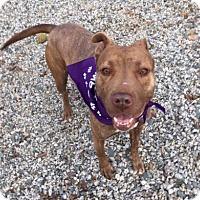 Pit Bull Terrier Mix Dog for adoption in Greensboro, North Carolina - Lindsay