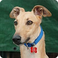 Adopt A Pet :: Ample - Ware, MA