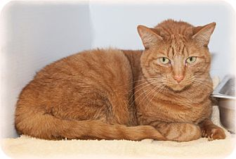 Domestic Shorthair Cat for adoption in Howell, Michigan - Lindy