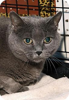 Russian Blue Cat for adoption in Westfield, Massachusetts - Morgan