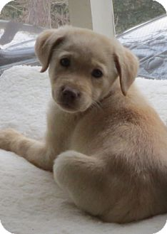 Labrador Retriever Mix Puppy for adoption in Foster, Rhode Island - Berry Pup