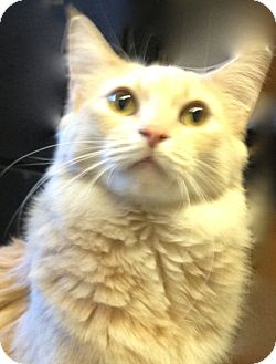 Domestic Longhair Cat for adoption in Los Angeles, California - Fluff- super friendly & happy