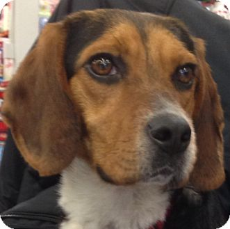 Beagle Dog for adoption in Pittsburgh, Pennsylvania - Kit