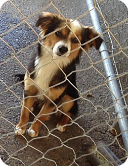 Terrier (Unknown Type, Small)/Spaniel (Unknown Type) Mix Puppy for adoption in Gustine, California - AJAX