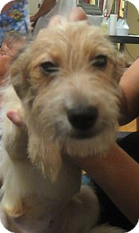 Parson Russell Terrier Dog for adoption in Waldorf, Maryland - Sophia