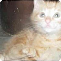 Adopt A Pet :: Kitten C - Xenia, OH
