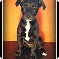 Adopt A Pet :: Cole - Indian Trail, NC