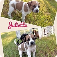 Adopt A Pet :: Juliette - Gainesville, FL