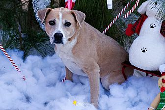 Boxer/Black Mouth Cur Mix Dog for adoption in Baton Rouge, Louisiana - Daezee