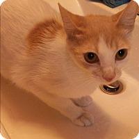 Adopt A Pet :: Cupcake - San Ramon, CA