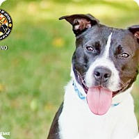 Adopt A Pet :: DOMINO - Chandler, AZ