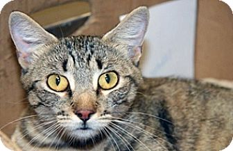 Domestic Shorthair Cat for adoption in Wildomar, California - Fiona
